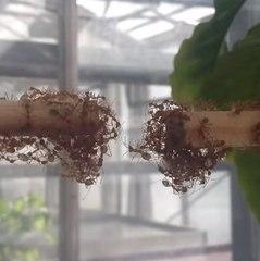 As formigas formam uma ponte