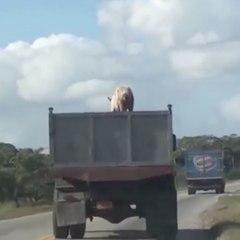 Evasion de cochon !
