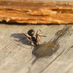 Cette fourmi est sans doute russe !