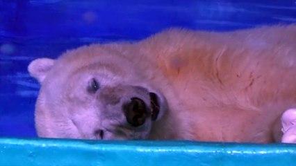 """Selon un groupe de militants, un ours polaire est maintenu en captivité pour que le public fasse des """"selfies""""."""