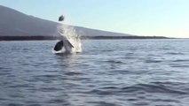 Cette orque cruelle balance une tortue de mer dans les airs pour s'amuser