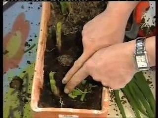 Ciboulette- Conseils de Jardinage