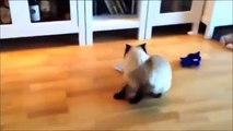 Videos De Risa De Gatos - Videos Chistosos Gatos - Para Morirse De La Risa