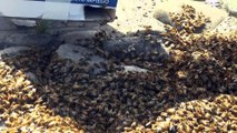 Api sciame. Bees (DANGEROUS) swarm of bees 100.000 bees