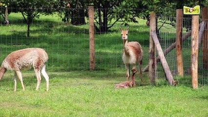 Naissances de Vigognes au Parc de Thoiry