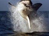 Cette attaque d'un gros requin filmé de près, est plus que terrifiante !