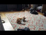 3 Legged Cat Happily Plays and Chases Tail