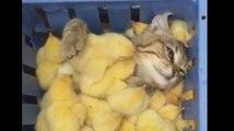Ce chat et ces poussins sont trop mignons !