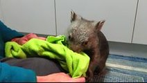 Dinner and Playtime With Orphaned Wombats