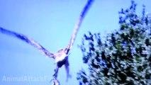 Eagle attacks animals dog, birds, drone, goose, kangaroo - Animal Attack Video Compilation part 2