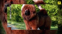 The World s Most Terrifyingly Awesome & Terrifyingly Expensive Dog - Tibetan Mastiffs