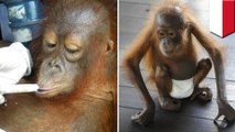 Orangutans orphaned due to deforestation and palm oil production released back into wild - TomoNews