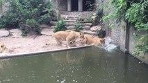 Une lionne chasse et bouffe un Héron dans son enclos au Zoo