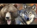 熊狼 vs 人類