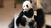 Un panda s'amuse avec des glaçons