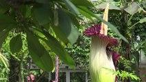 Aro Titano: il fiore più grande e più puzzolente del mondo