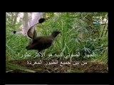 l'oiseau lyre qui imite tous les bruits qu'il entend