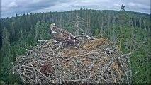 Premier envol d'un jeune aigle de son nid à des mètres de hauteur !