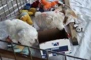 CUTE PUPPIES!!- 8 Weeks Old- Puppies vs Cat! !
