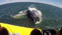 Une baleine passe sous un bateau de touristes