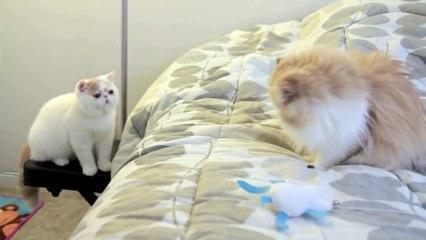 Ils ont accueilli un nouveau chaton, mais découvrez sa réaction lorsqu'il a découvert le chat plus âgé... Oh mon dieu!!