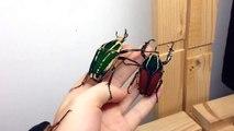 Il s'amuse avec ses 3 scarabées géants!