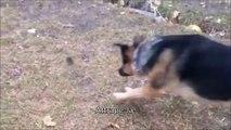 Ce gros berger allemand est effrayé par une petite souris