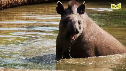 Notre tapir découvre son enclos