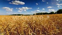 Wheat Field Time Lapse 4k | Stock Footage - Videohive