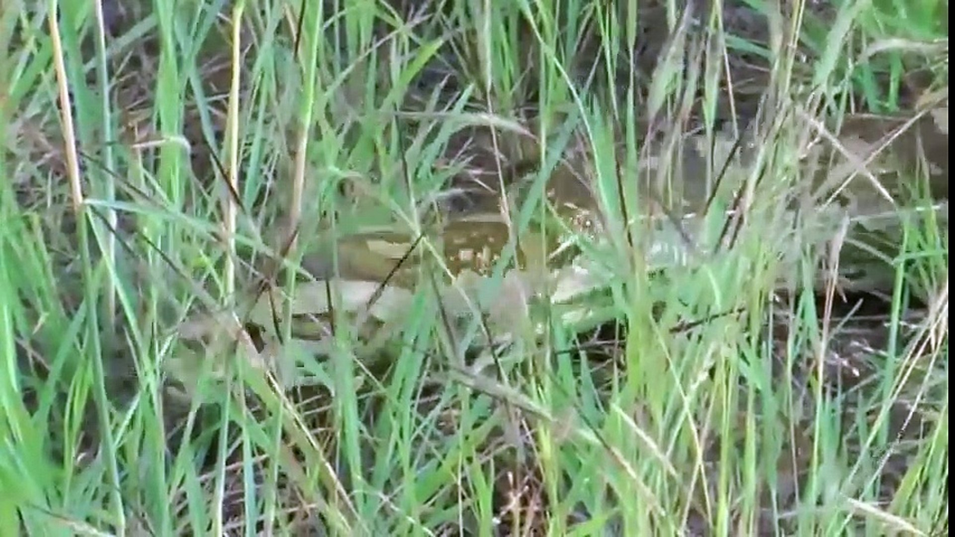 Kruger National Park - Huge Python hides under Car bonnet.