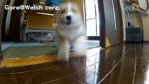 Mad Max Puppies   cute corgi puppies   Goro@Welsh corgi channel コーギー子犬 軍団 !