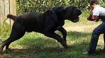 30 BIGGEST DOG 2016 THE GIANT DOGS NOW Dogs that are Growing Fastest Dangerous Dogs