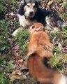 un renard malin avec un chien
