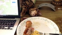 Un chat qui fait semblant de dormir pour voler une cuisse de poulet