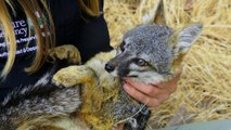 To Save an Endangered Fox, Humans Turned Its Home into a War Zone