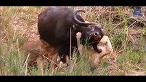 Buffalo Attacks and Kills Lion - When Prey Fights Back - Buffalo vs Lion HD