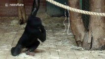 Young bonobo can't stop spinning