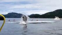 Les sauts d'une baleine au milieu des kayaks