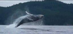 Adrénaline - Kayak : Une baleine s'amuse au milieu de kayaks en réalisant plusieurs sauts impressionnants