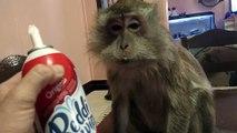 Un singe trop gourmand mange de la chantilly directement à la bombe