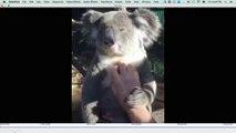 Koalas lieben es, gekrault zu werden
