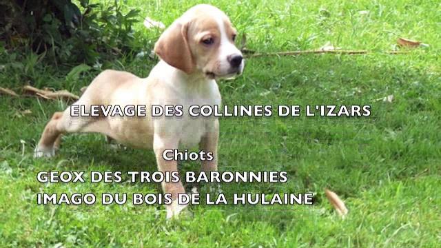 Chiots Geox des Trois Baronnies – Imago du Bois de la Hulaine