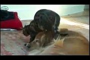 Funny Videos- Best Annoying Cat Dances on Dog s Head Funny dog videos 2015 Ever
