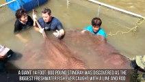Voici la plus grosse raie du monde ! 4 mètres et 360 kilos