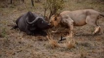 Real fight animals on the planet fight -- 6 Lion attack buffalo to death