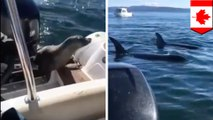 Seal jumps on boat near Vancouver Island to escape pod of hunting orca whales - TomoNews