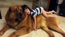 Funny Pets   Funny Dog videos   Gentle Giant Mastiff Plays With Baby