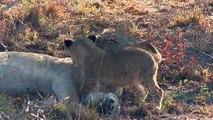 Un lionceau a la mauvaise idée de réveiller sa mère en pleine sieste
