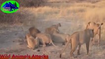 Amazing Predators Fight  Big Battle Animal Real Fight Lion, Crocodile, Hyena by Wild Animals Attack-U9ao4wrmAWg-HD