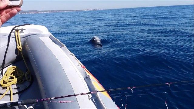 safari marine dauphins devant Gruissan 26 08 2016
